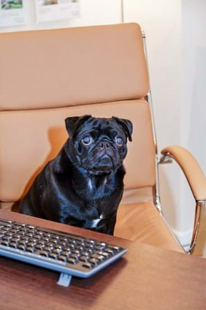 Ralph the pug - Rickitt Partnership Chester estate agent's Head of Customer Relations