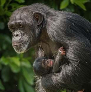 baby chimpanzee at Chester Zoo